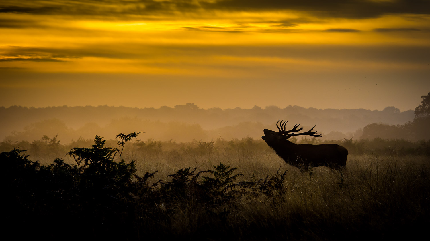 red deer stag bellows at dawn