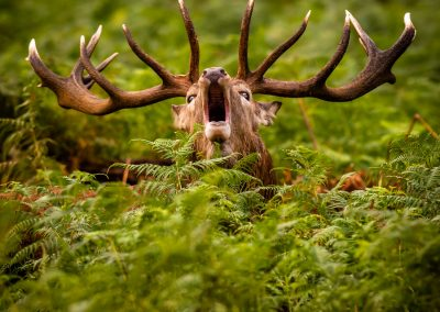 Bellowing red deer stag in bracken