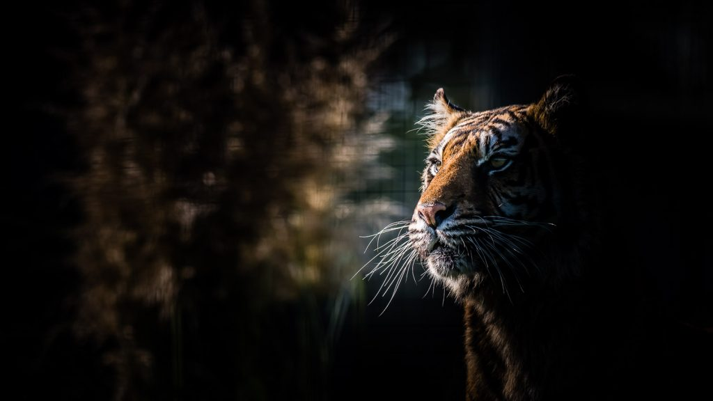 tiger profile wildlife photography