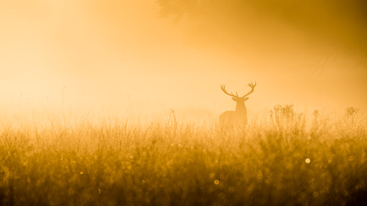 stag in early morning mist