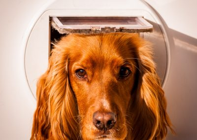 cocker spaniel looking through cat flap