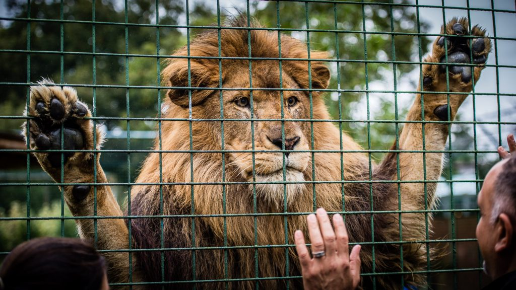 beautiful Kasanga The Big Cat Sanctuary
