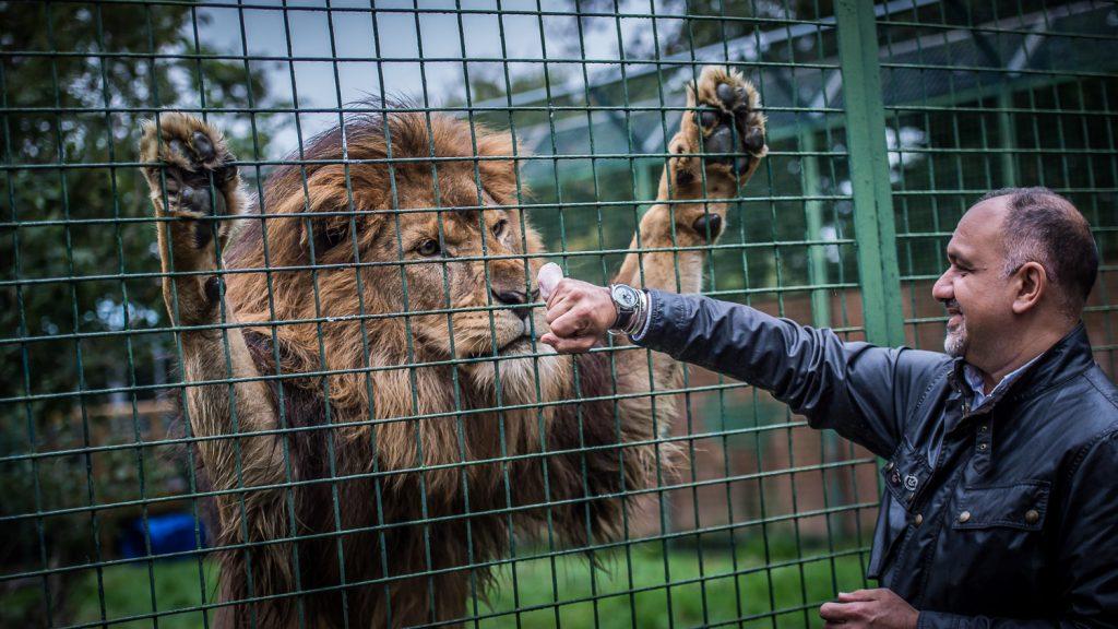 lion eyeing up chicken leg