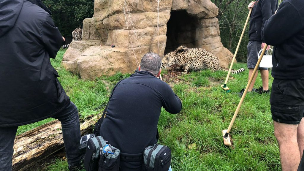 photographer in with Cheetahs