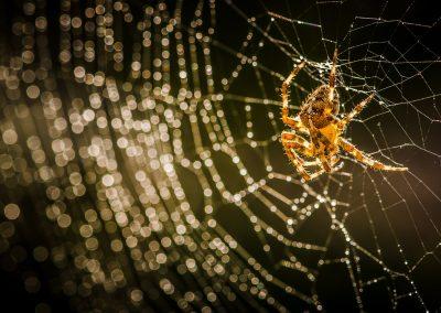 Common Garden Spider jewelled web