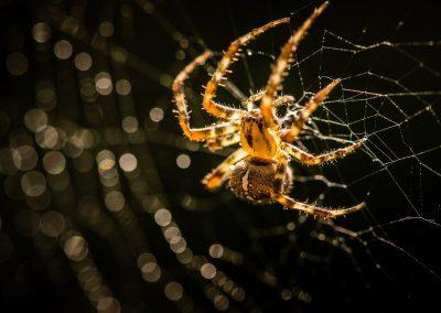 Common Garden Spider highlight web