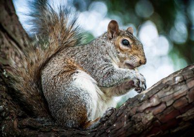 grey squirrel eating wildlife photography