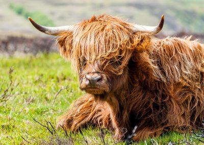 Dartmoor Cattle - Wildlife Photography