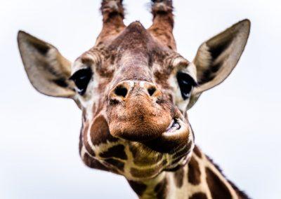 Funny Face Giraffe - Wildlife Photography