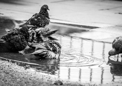 pigeons washing in puddle urban wildlife photography