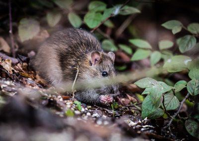 Water Rat eating wildlife photography
