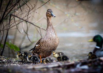 Proud mother duck watches over ducklings