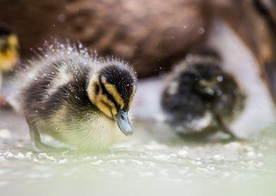 mallard duckling feeding in snow wildlife photography