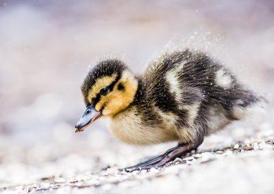 mallard duckling wildlife photography