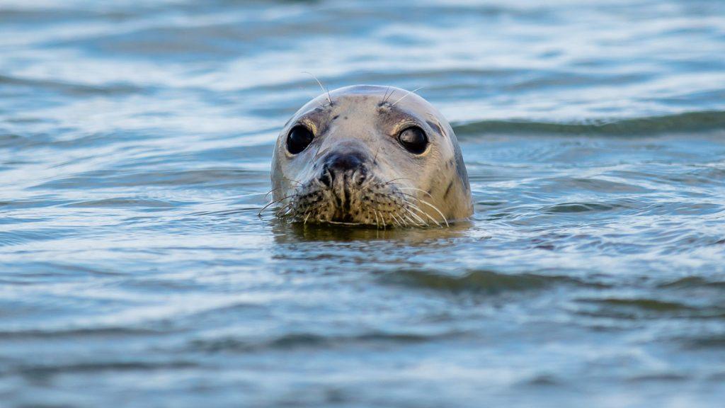 Grey seal at newburgh beach