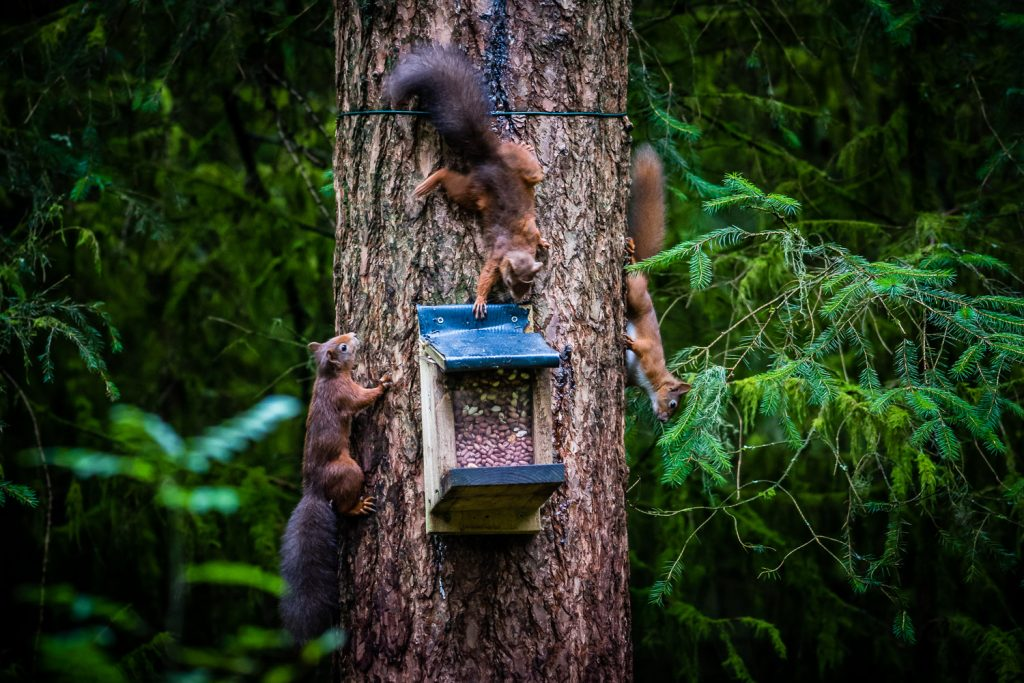 3 Red Squirrels in the wild